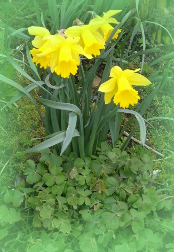 Noch  kein Frühling - und doch blühen die Narzissen. Der irische Frühling beginnt früh!