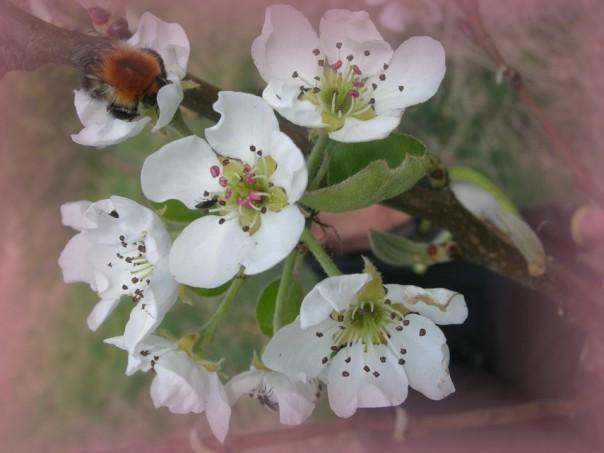 Die Birnen blühen - die summenden und brummenden Bewohner des Planeten freut es!