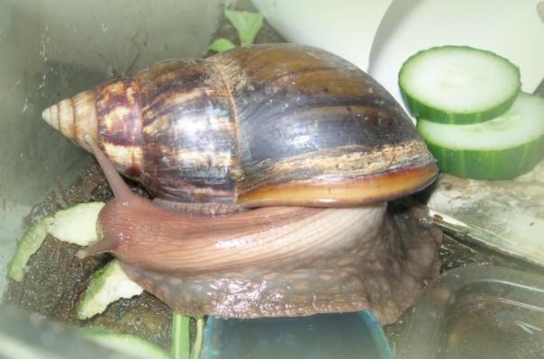 Auch die Achatschnecke wird bei meiner Verköstigung zur Salatschnecke
